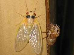 Молодая периодическая цикада. Эти насекомые единовременно вылупляются в гигантском количестве через длительные промежутки времени