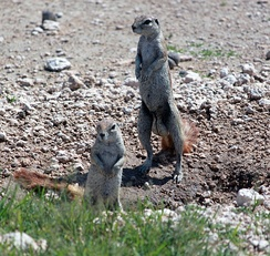The Cape ground squirrel is an example of a promiscuous rodent.