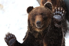 An Ussuri brown bear of Hokkaido, a relatively small-bodied population, in the snow