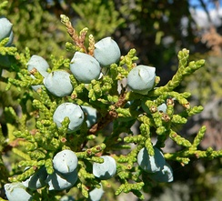 Utah Juniper (Juniperus osteosperma) leaves, female cones and male cones, and (center) galls