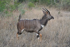 Young nyala bull in the Kruger National Park