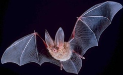 Bats use echolocation to hunt moths at night.