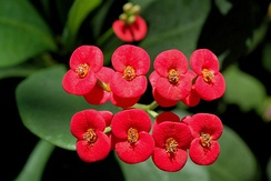 Euphorbia milii is commercially grown for the aesthetic appearance of its brightly colored, bract-like structures called cyathophylls, which sit below the inflorescence.