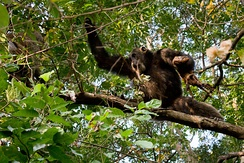 Common chimpanzee with hunted bushbuck on a tree in Gombe Stream National Park