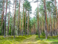 Latvian Pine Forest in Ķegums Municipality