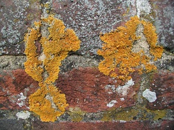 Crustose lichens on a wall
