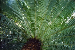 Cycads have a rosette of pinnate leaves around cylindrical trunk