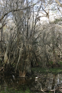Cypress and white ibis during the winter dry season in Big Cypress National Preserve