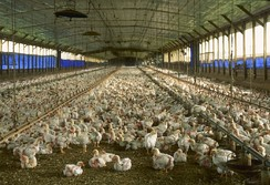 A commercial chicken house with open sides raising broiler pullets for meat