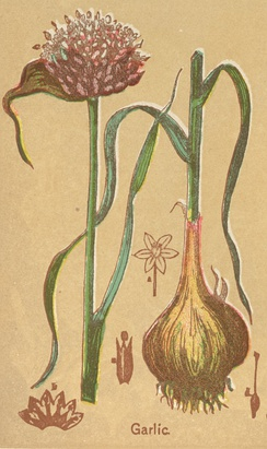 Garlic, from The Book of Health, 1898, by Henry Munson Lyman