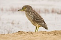 Juvenile black-crowned night heron (Nycticorax nycticorax) at Point Reyes National Seashore, California