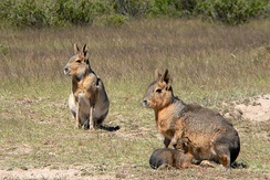 Two Patagonian maras with young, an example of a monogamous and communal nesting species
