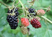Blackberries belong to any of hundreds of microspecies of the Rubus fruticosus species aggregate.