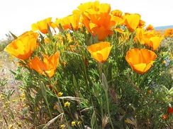 California poppies in Antelope Valley California Poppy Reserve