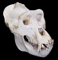 Closeup of male gorilla face (above) and skull