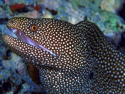 Macro image of a Whitemouth Moray Eel using 100% flash for the exposure