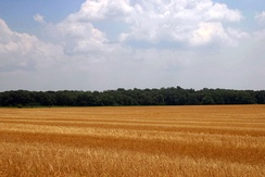 Wheat field near Centreville on the Eastern Shore of Maryland, with flat terrain typical of the Atlantic coastal plain