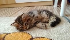 Сибирская кошка - 7 недель