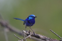 DNA analysis has shown that 60% of offspring in splendid fairywrens nests were sired through extra-pair copulations, rather than from resident males.[37]