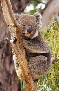 Самка коалы