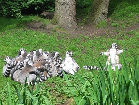 A social huddle of ring-tailed lemurs. The two individuals on the right exposing their white ventral surface are sunning themselves.