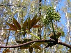 Sambucus racemosa subsp. racemosa. Молодые красноватые листья и соцветие с ещё не раскрывшимися цветками