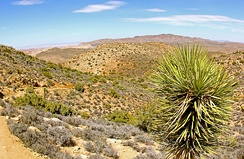 Yucca pines near Ryan Mountain Trail in Joshua Tree National Park