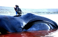 Bowhead whale (Balaena mysticetus), caught in an Inuit subsistence whale hunt in Igloolik, Nunavut in 2002