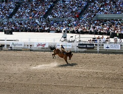 A competition for bareback bronc riding during the 2011 Calgary Stampede.