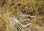 Leopard: a disruptively camouflaged predator