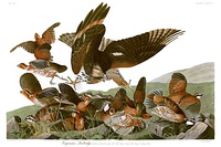 Plate 76 of The Birds of America by Audubon showing a northern bobwhite under attack by a young red-shouldered hawk, painted 1825