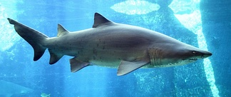The sand tiger shark is a large coastal shark that inhabits coastal waters worldwide. Its numbers have declined significantly, and it is now listed as a vulnerable species on the IUCN Red List.[18]