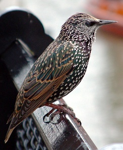 "The songs of starlings have been discovered to show regional ""dialects,"" a trait that has potential to have a cultural basis."