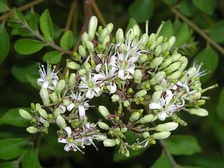 The small flowers are white and fragrant.