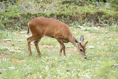 Mule deer are among the most common mammals in Thousand Oaks.
