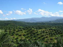 Vast palm oil plantation in Bogor, West Java. Currently, Indonesia is the world's largest producer of palm oil.