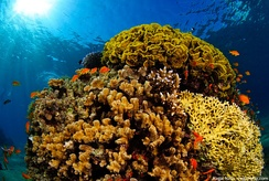 Red Sea coral and marine fish