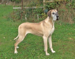 Fawn Great Dane (female)