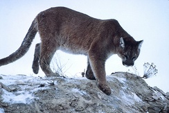 A cougar, mountain lion, panther, or puma, among other common names: its scientific name is Puma concolor.