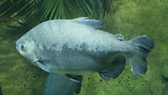 The tambaqui, an important species in Amazonian fisheries, breeds in the Amazon River