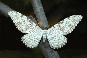Крупнейшая в мире бабочка— тизания агриппина (Thysania agrippina) с размахом крыльев до 28см