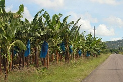 A banana plantation in St. Lucia
