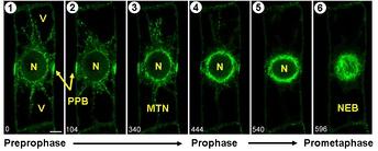 Начальные стадии митоза растительной клетки: 1) и 2) Оформление препрофазного кольца. 3) Нуклеация микротрубочек вокруг ядра. 4) Препрофазное кольцо начинает исчезать. 5) Микротрубочки вокруг ядра образуют «профазное веретено». 6) Ядерная мембрана распадается и микротрубочки веретена направляются к хромосомам. Условные обозначения: N— ядро; V— вакуоль; PPB— препрофазное кольцо; MTN— начало скопления микротрубочек; NEB— распад ядерной оболочки; микротрубочки окрашены зелёным цветом