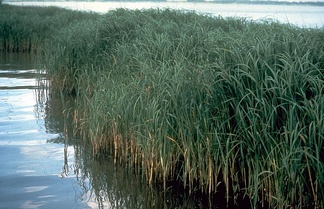 Spartina alterniflora (Saltmarsh Cordgrass). Native to the eastern seaboard of the United States. Considered a noxious weed in the Pacific Northwest
