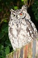 Spotted eagle-owl displays red-eye effect only on the eye facing the camera's ring flash