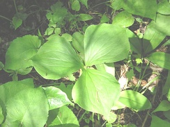 The perennial wildflower Trillium cernuum possesses three leaves that are sessile at the top of the stem.