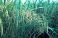 "Oryza sativa (spikes in a panicle, ""panicle"")"