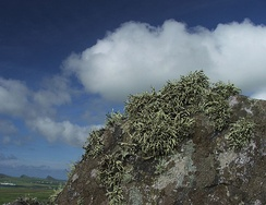 Rock lichens in Ireland
