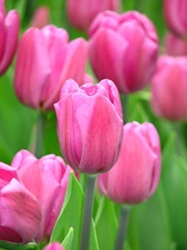 Pink tulips in the botanical gardens of Moscow State University.
