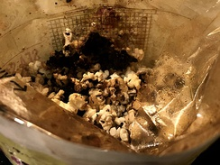 Charred popcorn burnt by leaving the microwave oven on too long